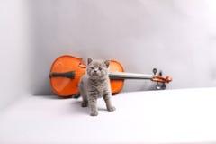 Brittisk Shorthair katt och en fiol Arkivbilder