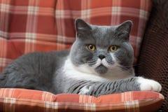 Brittisk Shorthair katt på stolen Arkivfoto