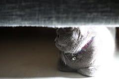 Brittisk Shorthair katt som döljas under soffan royaltyfri foto