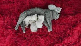 Brittisk Shorthair katt som matar hennes kattungar på en fluffig röd filt lager videofilmer
