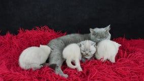 Brittisk Shorthair katt som matar hennes kattungar på en fluffig röd filt stock video