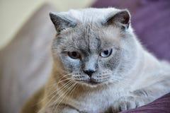 Brittisk Shorthair kattstående Arkivfoton