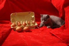Brittisk Shorthair kattunge Royaltyfri Foto