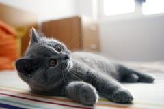 Brittisk Shorthair kattunge Arkivbilder