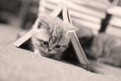 Brittisk Shorthair kattunge i en bok Arkivbilder