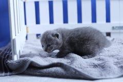 Brittisk Shorthair kattunge i en liten gård, vitt staket fotografering för bildbyråer