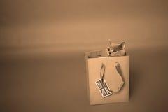 Brittisk Shorthair kattunge i en shoppingpåse Arkivfoton