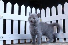 Brittisk Shorthair kattunge, isolerad st?ende n?ra ett vitt tr?staket fotografering för bildbyråer