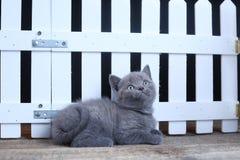 Brittisk Shorthair kattunge, isolerad st?ende n?ra ett vitt tr?staket arkivbilder