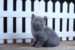 Brittisk Shorthair kattunge, isolerad st?ende n?ra ett vitt tr?staket royaltyfri bild