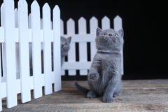 Brittisk Shorthair kattunge, isolerad st?ende n?ra ett vitt tr?staket royaltyfri fotografi