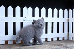 Brittisk Shorthair kattunge, isolerad st?ende n?ra ett vitt tr?staket royaltyfria foton