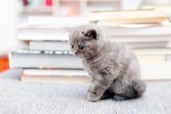 Brittisk Shorthair kattunge och böcker Arkivfoton