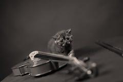 Brittisk Shorthair kattunge och en fiol Royaltyfri Fotografi