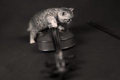 Brittisk Shorthair kattunge och en fiol Royaltyfria Bilder