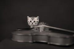 Brittisk Shorthair kattunge och en fiol Arkivfoton
