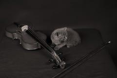 Brittisk Shorthair kattunge och en fiol Royaltyfri Foto