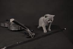 Brittisk Shorthair kattunge och en fiol Arkivbilder
