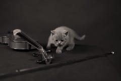 Brittisk Shorthair kattunge och en fiol Arkivbild