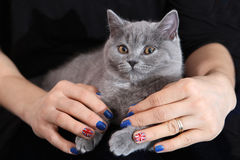 Brittisk Shorthair kattunge och Union Jack flagga Royaltyfri Bild