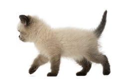 Brittisk Shorthair kattunge som går, 5 gammala veckor Arkivbild