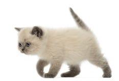 Brittisk Shorthair kattunge som går, 9 gammala veckor Arkivfoto
