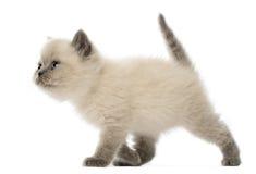 Brittisk Shorthair kattunge som går, 9 gammala veckor Royaltyfria Foton