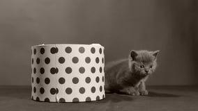 Brittisk Shorthair kattunge som spelar i en ask arkivfilmer