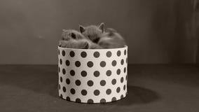 Brittisk Shorthair kattunge som spelar i en ask lager videofilmer