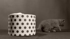 Brittisk Shorthair kattunge som spelar i en ask stock video