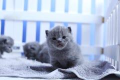 Brittisk Shorthair kattungestående, vitt staket på bakgrund arkivfoton