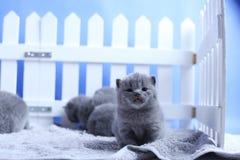 Brittisk Shorthair kattungestående, vitt staket på bakgrund royaltyfri bild