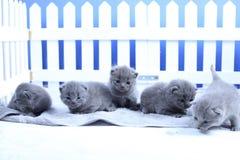 Brittisk Shorthair kattungestående, vitt staket på bakgrund arkivfoto