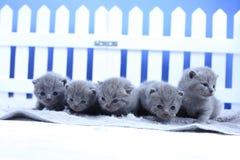 Brittisk Shorthair kattungestående, vitt staket på bakgrund royaltyfria foton