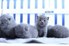 Brittisk Shorthair kattungestående, vitt staket på bakgrund arkivbild