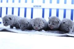 Brittisk Shorthair kattungestående, vitt staket på bakgrund royaltyfri fotografi