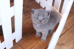 Brittisk Shorthair kattungestående, vitt staket på bakgrund fotografering för bildbyråer