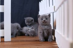 Brittisk Shorthair kattungestående, vitt staket på bakgrund royaltyfri foto