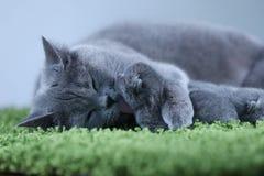 Brittisk Shorthair mammakatt som kramar hennes kattungar på en fluffig grön filt fotografering för bildbyråer