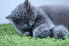 Brittisk Shorthair mammakatt som kramar hennes kattungar på en fluffig grön filt arkivfoto