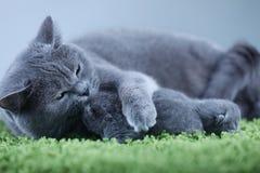 Brittisk Shorthair mammakatt som kramar hennes kattungar på en fluffig grön filt arkivbilder