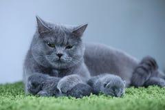 Brittisk Shorthair mammakatt som tar omsorg av hennes kattungar på en fluffig grön filt royaltyfri bild