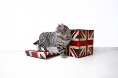 Brittisk Shorthair man Arkivfoto