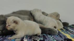 Brittisk Shorthair moder som matar henne nyfödda kattungar arkivfilmer