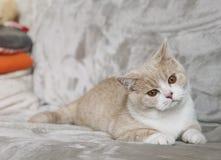 Brittisk shorthairkatt med stora ögon arkivfoto
