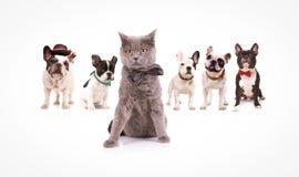 Brittisk shorthairkatt som leder en grupp av franska bulldoggar Royaltyfri Fotografi