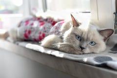 Brittisk shorthairkatt som ligger på fönsterbrädan arkivfoton
