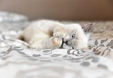 Brittisk shorthairkatt som spelar med en boll royaltyfri bild