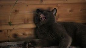 Brittisk shorthairkatt som spelar med maskrosen hemma, gråa husdjurlögner, ultrarapid lager videofilmer