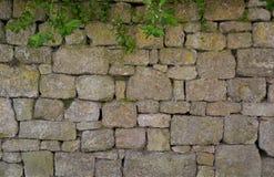 Brittisk stenvägg med den gröna växten Fotografering för Bildbyråer